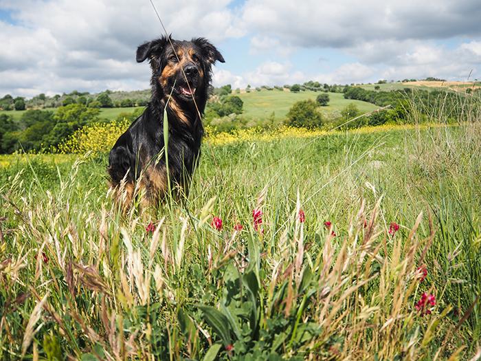 dog_landscape_tuscany